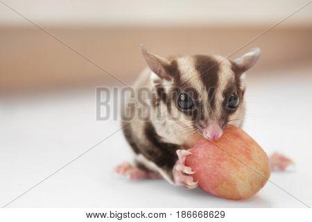 Cute sugar glider eating grape on light background, closeup