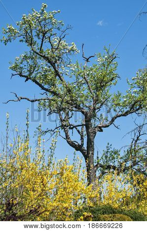 Beautiful old pear tree in rustic courtyard on blue sky background