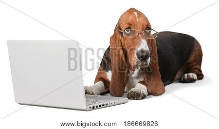 Dog laptop hound basset basset hound white computer