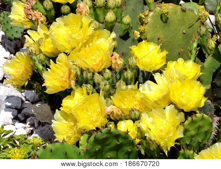 Yellow blossoms of Prickly Pear cactus plant