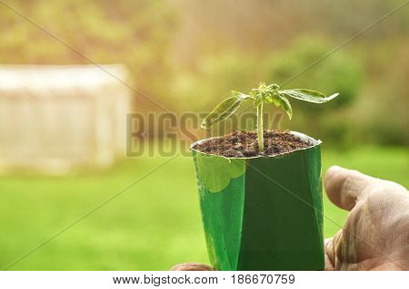 Man holding a vegetable seedling growing in paper milk package with a hothouse in the blurred background