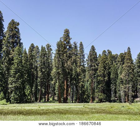 Sequoia Trees In Sequoia National Park
