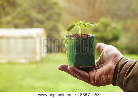 Farmer holding a vegetable seedling growing in paper milk package with a hothouse in the blurred background