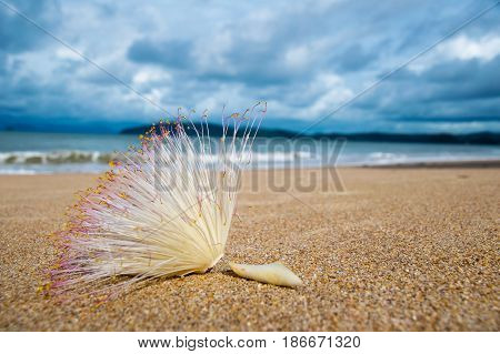 Close up Flower of Fish Poison Tree on sand beach