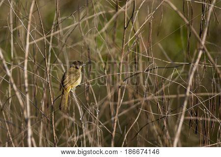 Image of bird (Streak-eared Bulbul; Pycnonotus blanfordi) on the branch on nature background. Wild Animals.