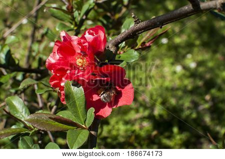 Bee collecting pollen from blooming red rose flower in springtime