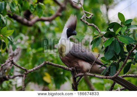 Blue-naped Mousebird. The african bird. Kenya, Africa