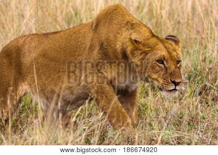 The lioness creeps up to the prey. Kenya, Africa