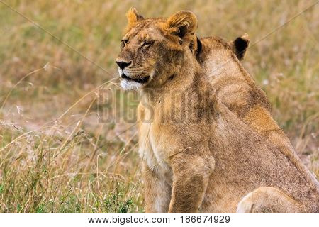 Portrait of lion cub. Kenya, Eastest Africa