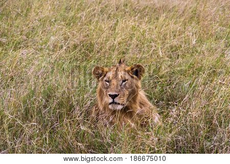 The lion is resting in the thick grass. Kenya, Africa