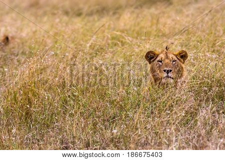 Lion in the thick grass. Masai Mara, Kenya