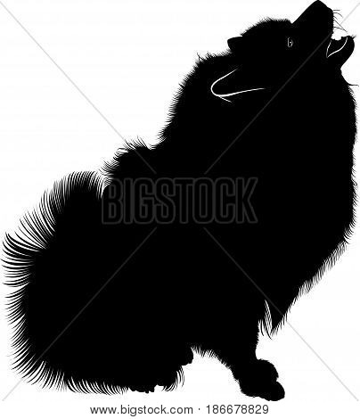 Wolf Spitz. A portrait of a purebred male Keeshond (German Wolfspitz). Black silhouette of spitz. Spitz dog