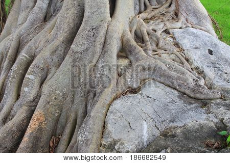 tree root in forest beautiful in nature