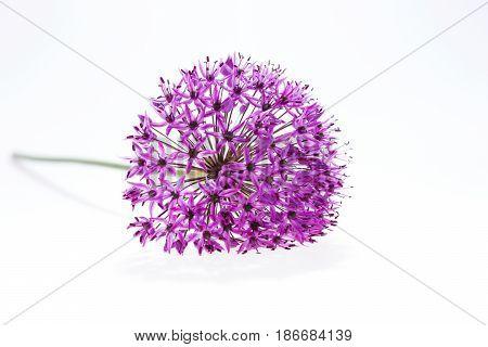 Allium (Allium Giganteum) in full flower isolated on white