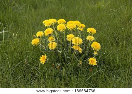 Closeup on dandelions in a field at spring