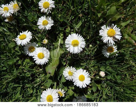 Beautiful daisies , Floral background , daisy , (Bellis perennis)