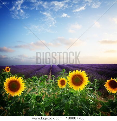 Sunflower and Lavender flowers field at summer sunsrise with pink clouds, Provence, France, retro toned
