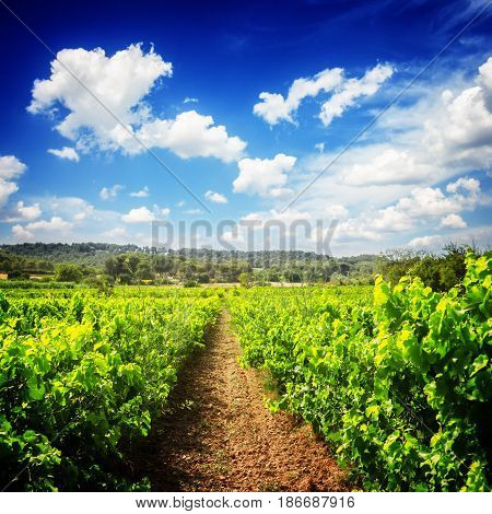 Vineyard green fresh rows under blue sky with couds, France, retro toned