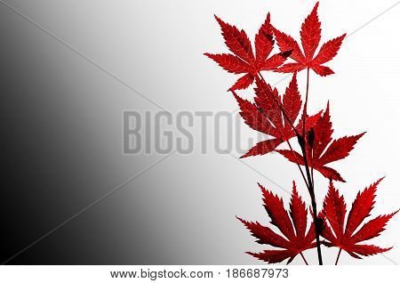 Red leaves isolated. Background with space for message
