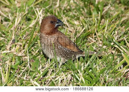 A Nutmeg Mannikin, Lonchura punctulata, a small finch looking for seeds on the ground in Hawaii