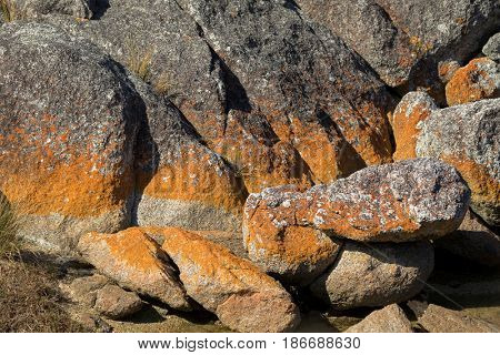 Closeup of colorful fiery red orange lichen growing on granite rocks formations at Bay of Fires in Tasmania, Australia