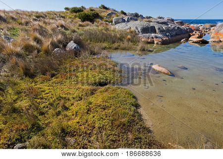 Knotted club-rush, Beaded glasswort, salt marsh plant in red green growing on coastal area of Bay of Fires, orange lichen growing on granite rocks formations, rocky coastline in Tasmania, Australia