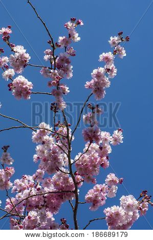 One branch of blooming beautiful cherry with blue sky as background in spring