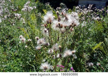 The seed heads of creeping thistle plants (Cirsium arvense), also called the Canada thistle, in a yard in Harbor Springs, Michigan during August