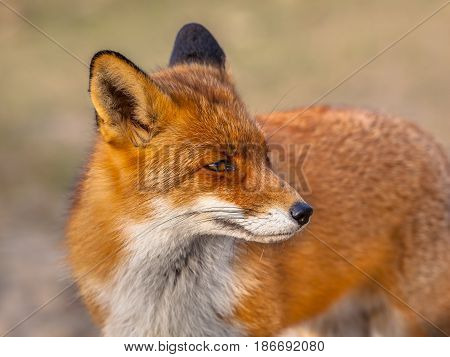 Red Fox Looking Backward