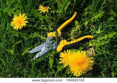 new garden scissors on lawn with dandelions