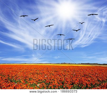 Strong wind drives the cirrus clouds. Migratory birds flying high in the sky. The southern sun illuminates the flower fields. Concept of rural tourism