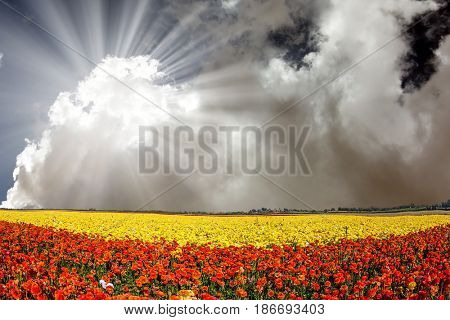 The bright southern sun shines through the lush cloud. The fields of red and yellow garden buttercups.  Concept of rural tourism