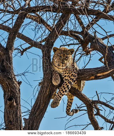 Happy and well fed leopard resting on a tree. The concept of exotic and extreme tourism. African spotted leopard after feeding. Travel to Namibia