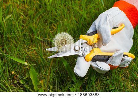 gardener's hand in protective glove cuts stem of dandelion with  pruning scissors