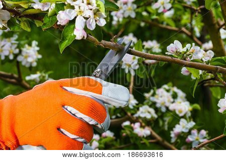 gardener's hand in protective glove cuts branch from of  apple-tree with  pruning scissors