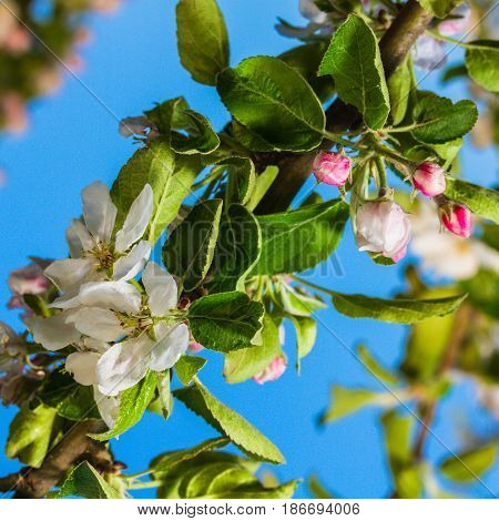 bluming apple tree on a sky background