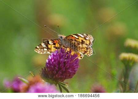 Painted Lady, Vanessa cardui, extracting nectar from a flower. Butterfly in nature on wild flower