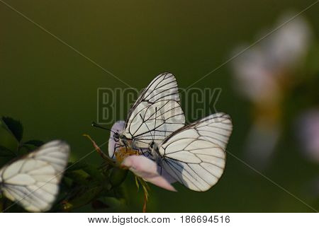 Aporia crataegi, Black Veined White butterflies in natural habitat. Butterflies on wild flower in meadow.