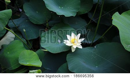 Blooming white lotus flower among leaves and water droplets