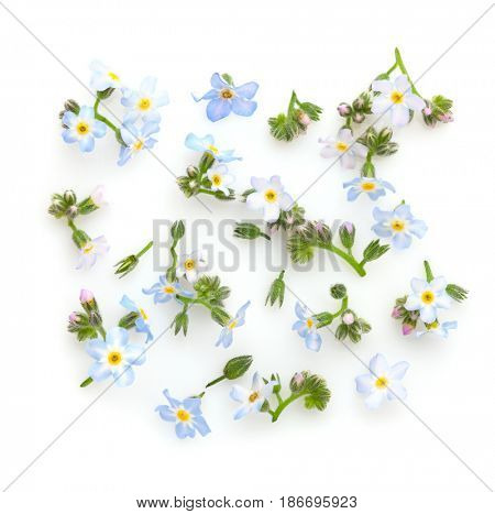 Floral composition with Forget-me-nots on white background. Flat lay.