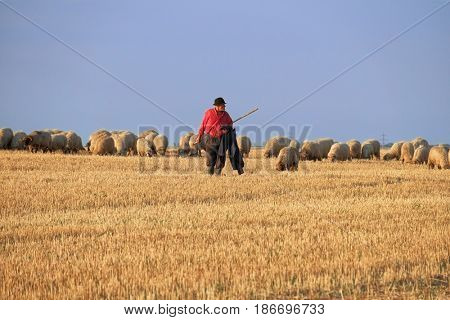 ARAD, ROMANIA - JULY 30, 2015: a shepherd with hat and red dress shirt, it is grazing his flock of sheep in a field of wheat crop