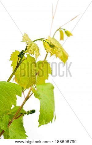 Grapevine leaves isolated on white background. Young grapevine leaf.