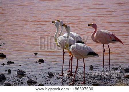Cluster of 4 pink flamingos in a lake with red water