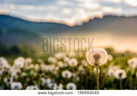 dandelion in foggy valley. countryside landscape in mountains at sunrise. gorgeous springtime weather
