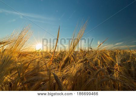 Wheat crop field of gold agriculture wheat field barley grain