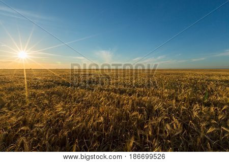 Wheat crop field of gold wheat field agriculture barley grain