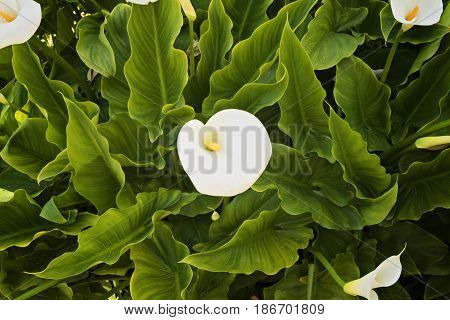 Flower calla in the garden among the leaves, floral pattern and rhythm