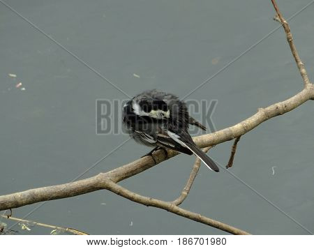 Pied wagtail preening itself on branch over water