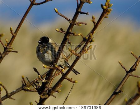 Male reed bunting peched on tree branch