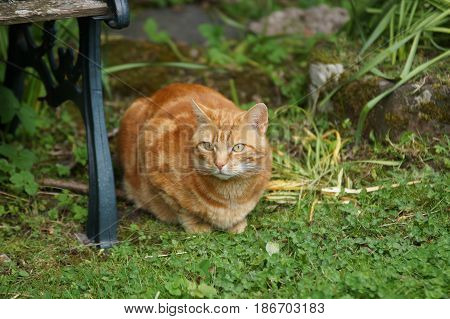 Nice portrait of a ginger or orange marmalade tabby cat enjoying some peace and quiet in his garden shot with shallow focus
